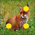 100 pics Animals answers Fox