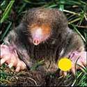100 pics Animals answers Mole