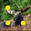100 pics Animals answers Moose