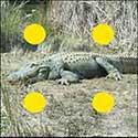 100 pics Animals answers Alligator