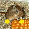 100 pics Animals answers Gerbil