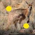 100 pics Animals answers Kangaroo