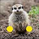 100 pics Animals answers Meerkat