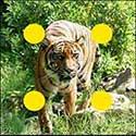 100 pics Animals answers Tiger