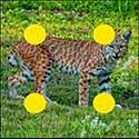 100 pics Animals answers Bobcat