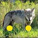 100 pics Animals answers Wolf