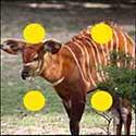 100 pics Animals answers Bongo