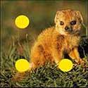 100 pics Animals answers Mongoose
