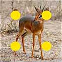 100 pics Animals answers Dik Dik