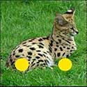 100 pics Animals answers Serval