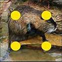 100 pics Animals answers Muskrat
