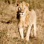 100 pics L Is For answers Lion