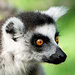 100 pics L Is For answers Lemur