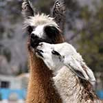 100 pics L Is For answers Llama