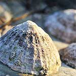 100 pics L Is For answers Limpet