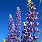 100 pics L Is For answers Lupines