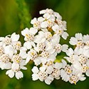 100 pics Y Is For answers Yarrow