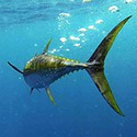 100 pics Y Is For answers Yellowfin Tuna