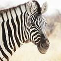 100 pics Z Is In answers Zebra